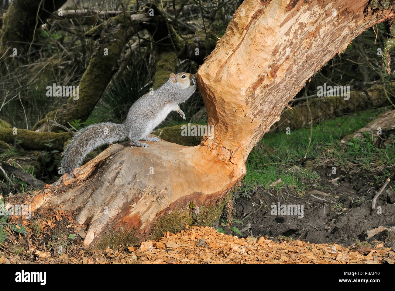 Grey squirrel (Sciurus carolinensis) standing on Willow tree (Salix sp) heavily gnawed by Eurasian beavers (Castor fiber) in a large woodland enclosure at night, Devon Beaver Project, run by Devon Wildlife Trust, Devon, UK, April. Taken by a remote camera trap. - Stock Image
