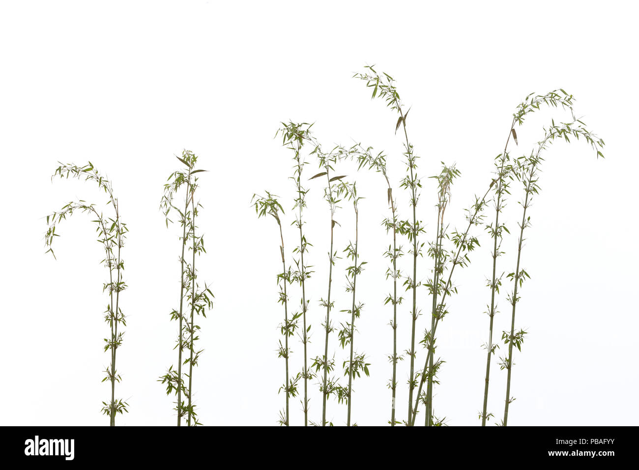 Bamboo (Fargesia sp.), Sichuan, China - Stock Image