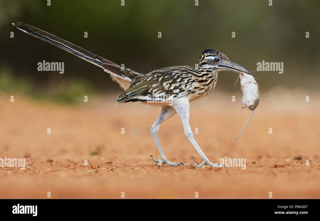 Greater roadrunner (Geococcyx californianus), adult with mouse prey, Rio Grande Valley, South Texas, Texas, USA. June - Stock Image