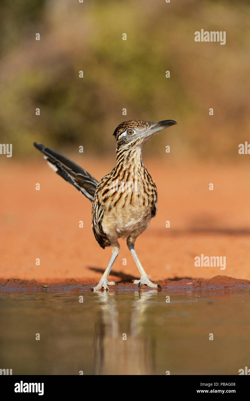 Greater roadrunner (Geococcyx californianus), adult drinking, Rio Grande Valley, South Texas, Texas, USA. June - Stock Image
