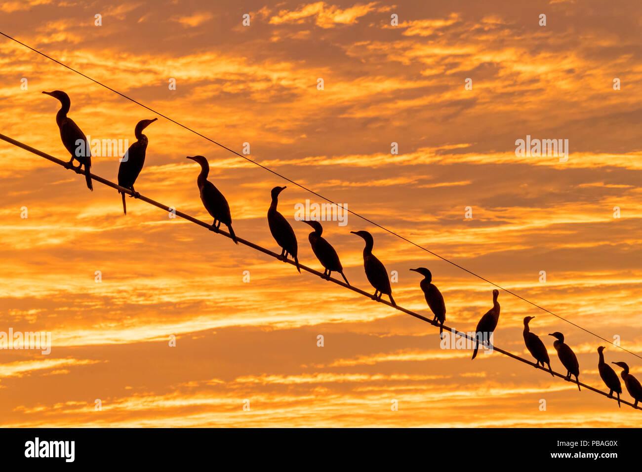 Flock of Neotropic cormorants ( (Phalacrocorax brasilianus) on wire at sunset, Cibola National Wildlife Refuge, Arizona, USA. November. - Stock Image
