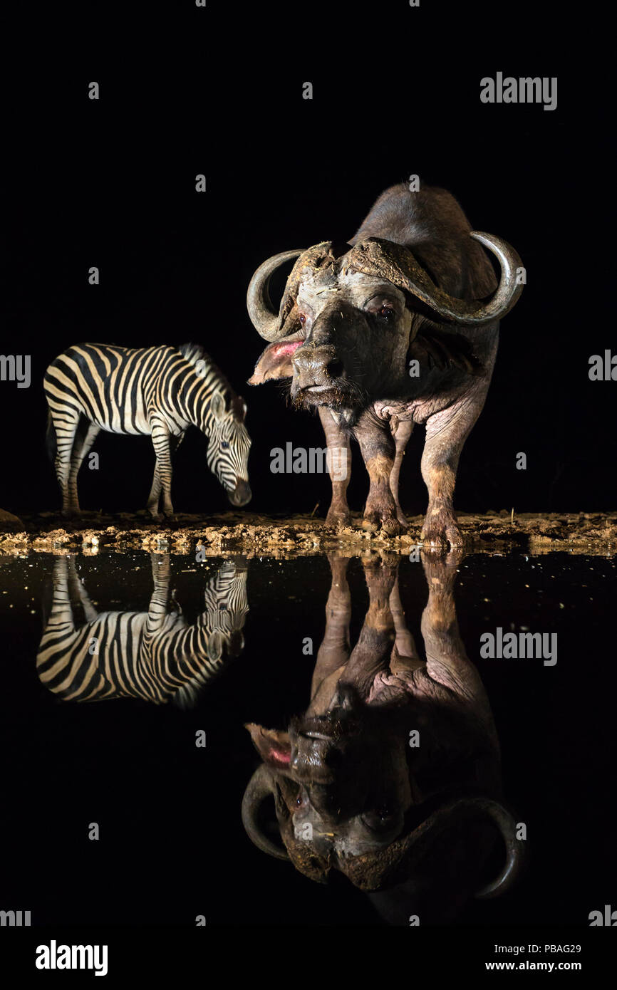Cape buffalo (Syncerus caffer) at waterhole at night with plains zebra (Equus quagga), Zimanga private game reserve, KwaZulu-Natal, South Africa, September - Stock Image