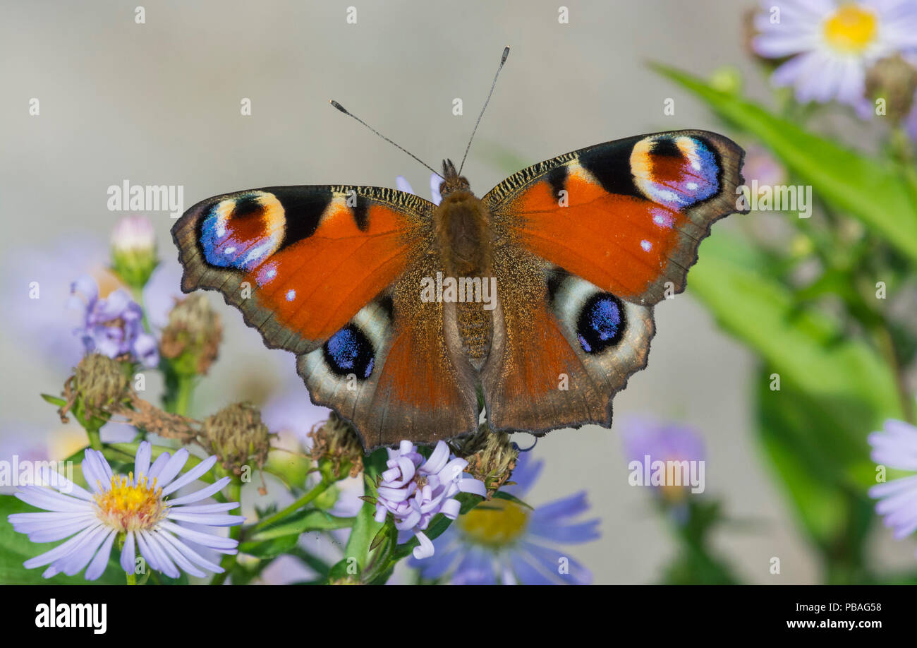 Peacock butterfly (Inachis io) newly emerged on asters,  Jyvaskyla, Finland, August. - Stock Image