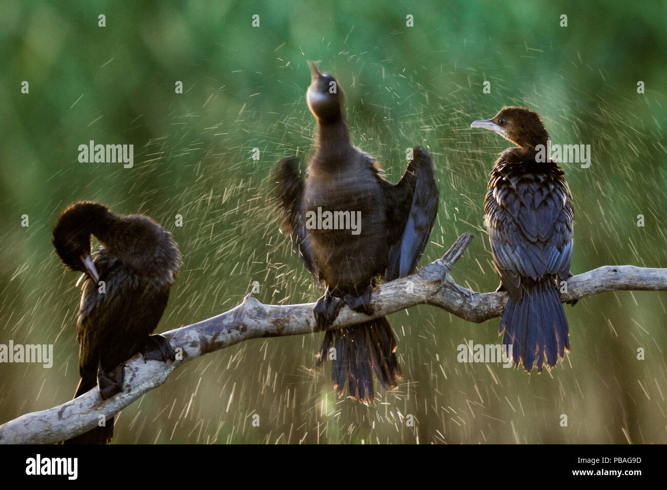 Three Pygmy cormorants (Microcarbo pygmeus) drying themselves, one by shaking off water, Hortobagy National Park, Hungary - Stock Image