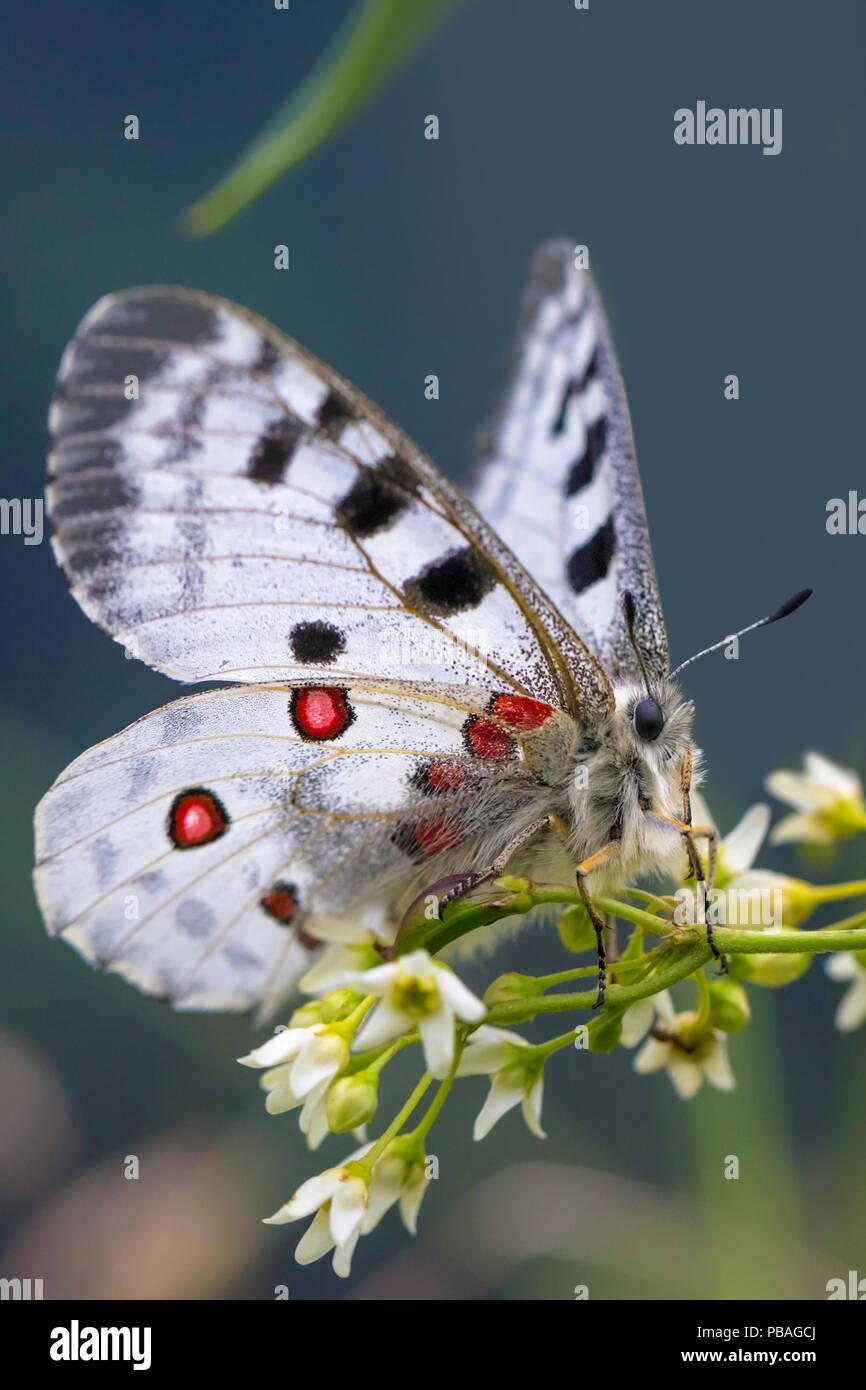 Apollo butterfly (Parnassius apollo) Nordtirol, Austrian Alps. June. - Stock Image