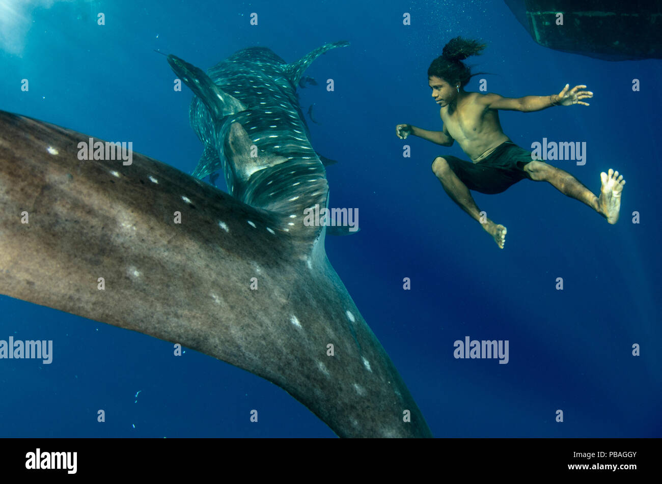 Whale Shark (Rhincodon typus) and local fisherman freediving, Cenderawasih Bay, West Papua, Indonesia. Winner of the Man and Nature Portfolio Award in the Terre Sauvage Nature Images Awards Competition 2015. Stock Photo