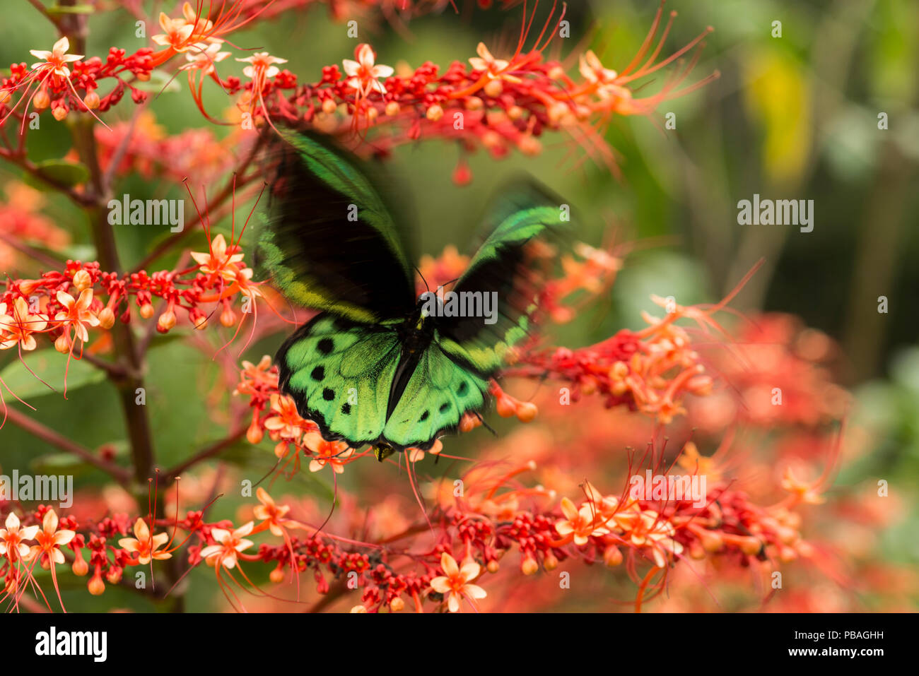 Cairns birdwing butterfly (Ornithoptera euphorion) on red tropical flowers, Queensland, Australia. - Stock Image