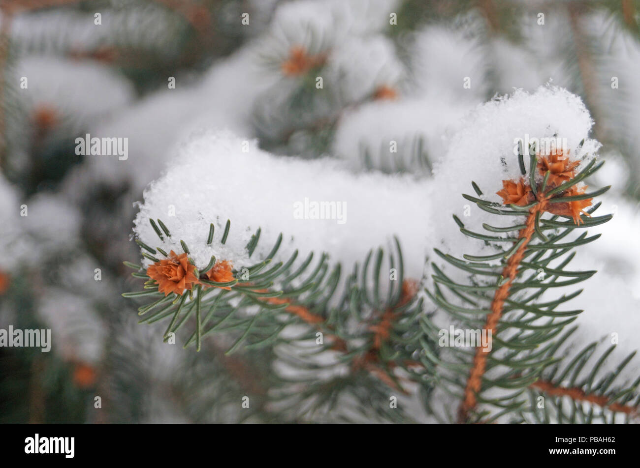 Blue spruce branch covered with snow on a winter day - Stock Image