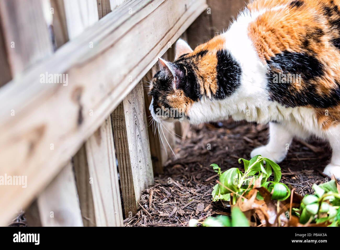 Closeup of calico cat face outside sniffing, smelling scent in garden, marking territory, house or home front, back yard with mulch, looking through w - Stock Image