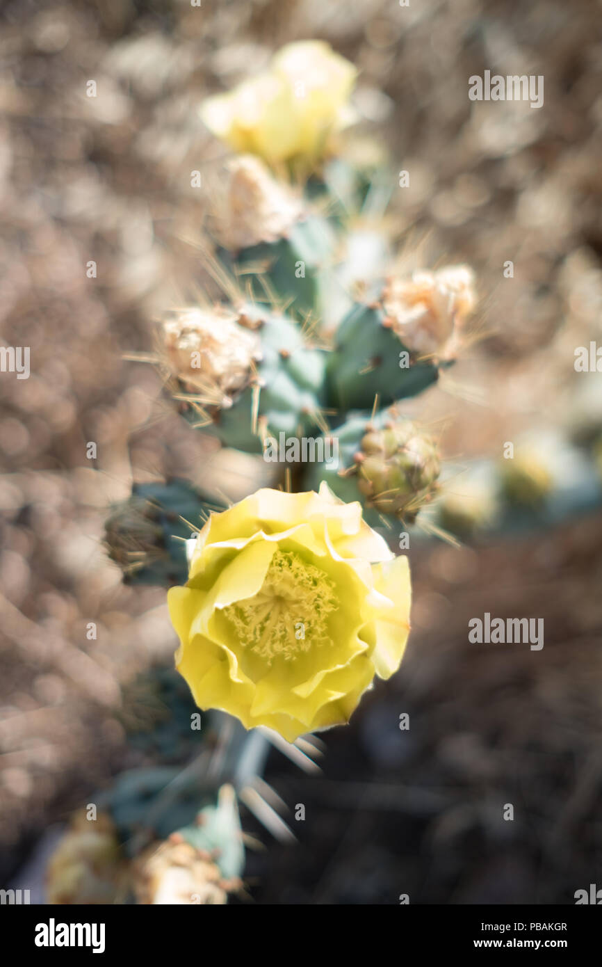 Blossoming yellow flower of a Prickly Pear ( Opuntia humifusa ) cactus plant in the wild, Saronida, East Attica, Greece. Stock Photo