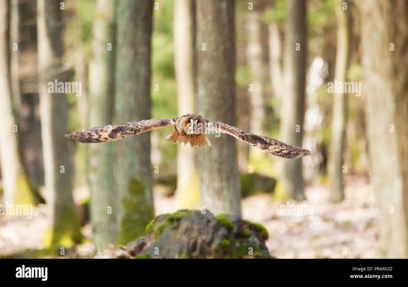 Long-eared owl flying in forest - Asio otus - Stock Image