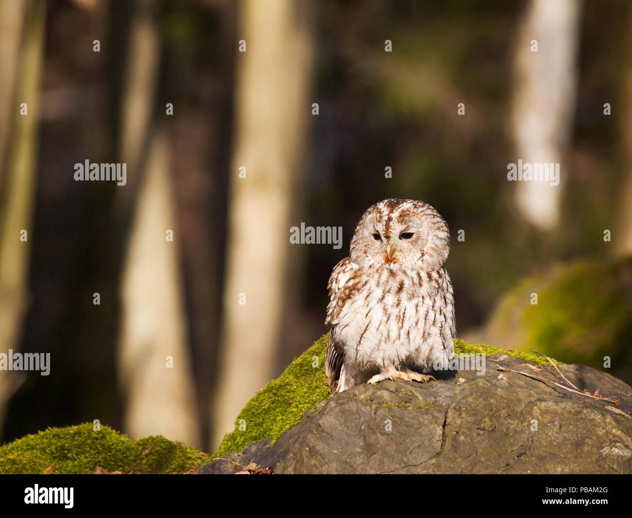 Strix aluco - tawny owl sitting on rock - Stock Image