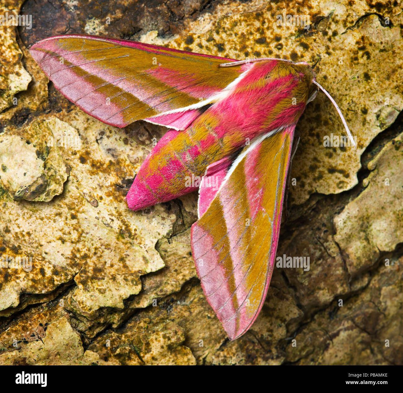 Elephant Hawk-moth Deilephila elpenor - Stock Image