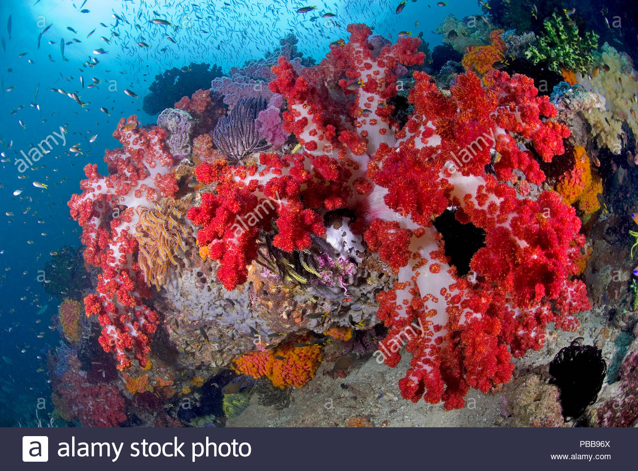 Buntes Korallenriff, Kri island, Raja Ampat, Irian Jaya, Indonesien   Colourful coral reef, Kri island, Raja Ampat, Irian Jaya, Indonesia - Stock Image