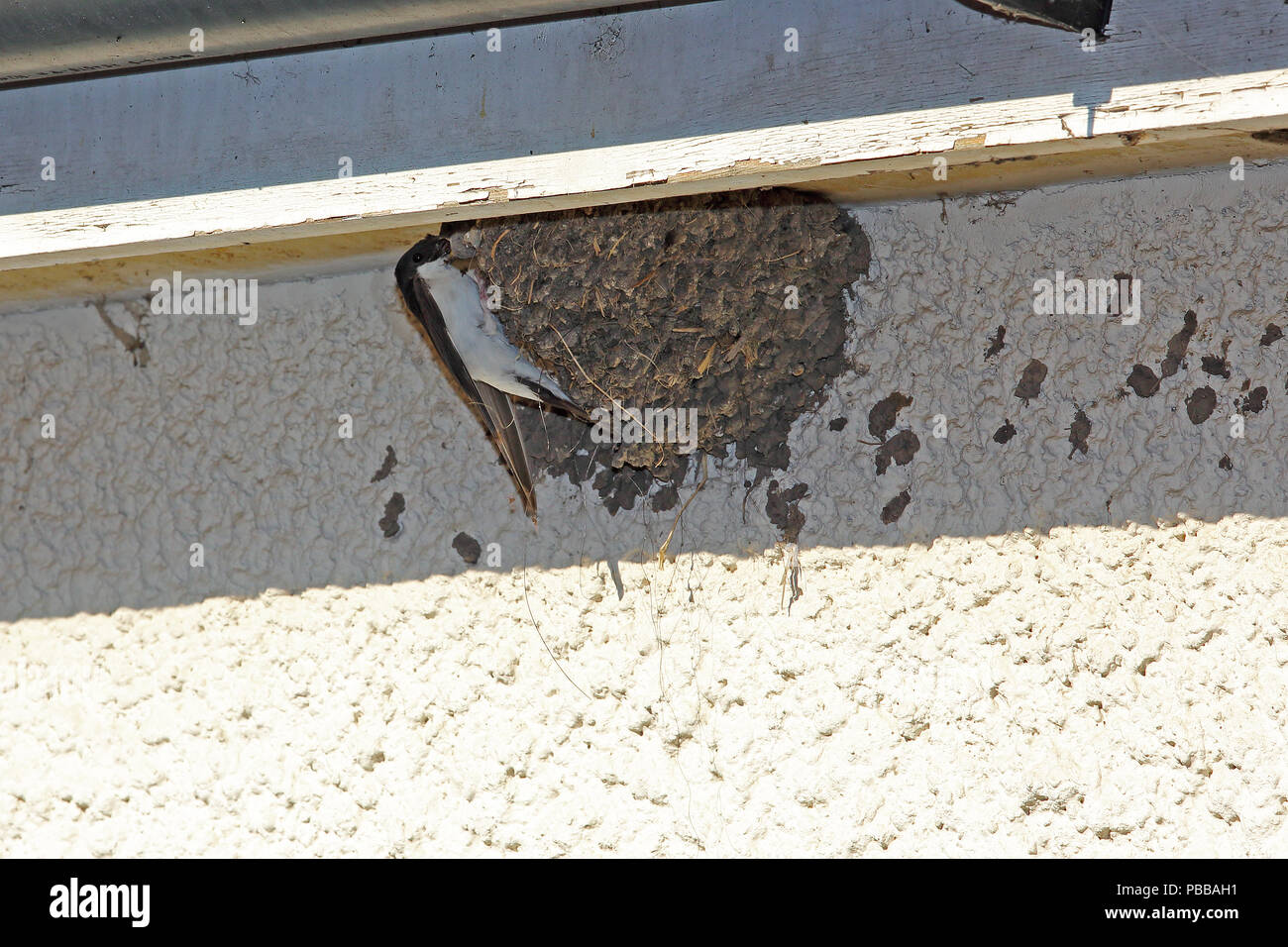 A swift feeds its young in a nest built on the wall of a house in Oxfordshire,  UK. Stock Photo