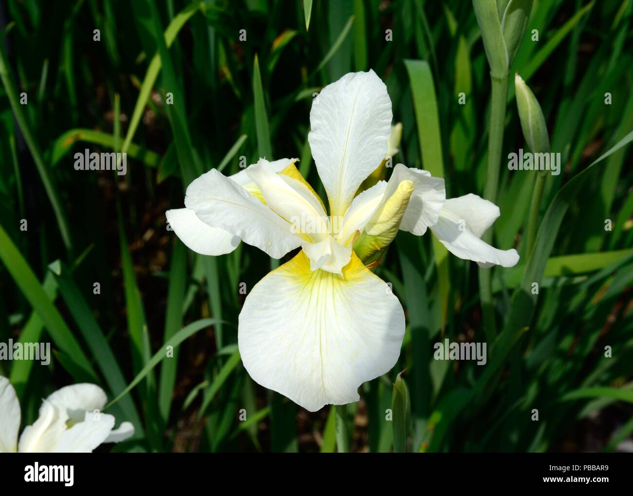 Iris Sibirica Anniversery siberia iris pure white flowers with yellow markings - Stock Image
