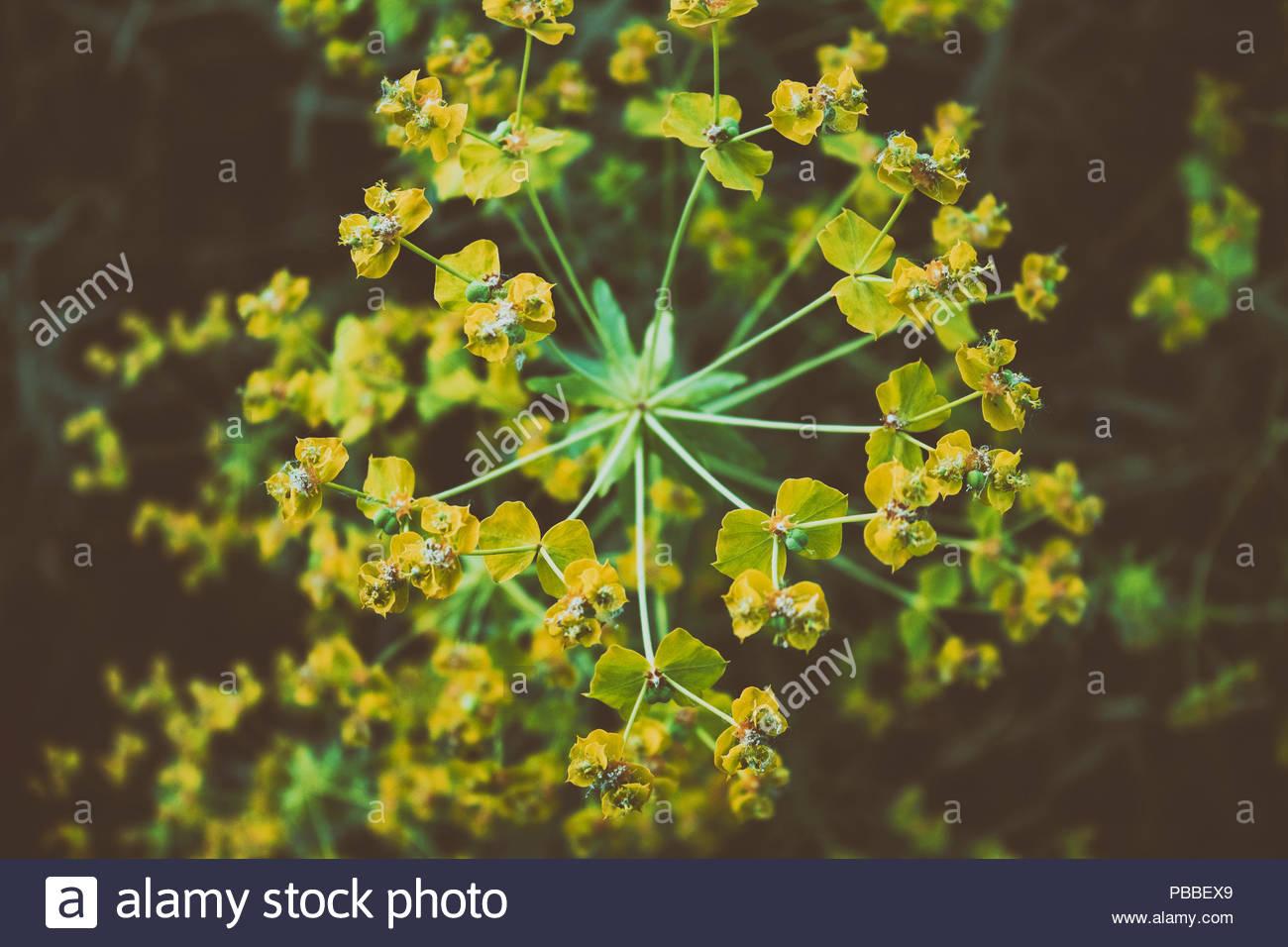Wood Spurge - Euphorbia amygdaloides. Closeup. Stock Photo
