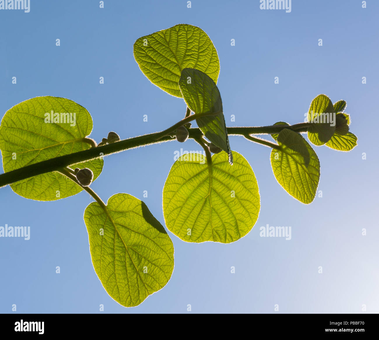 Young leaf growth on a kiwi vine back lit by spring sunshine.Actinidia deliciosa leaves - Stock Image