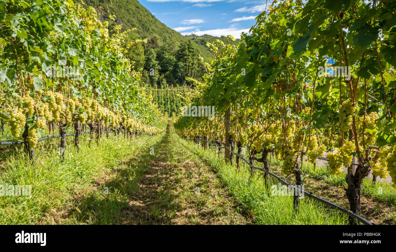 Grapes (Mueller Thurgau) at the vine, South tyrol, Italy. Guyot Vine Training System. - Stock Image