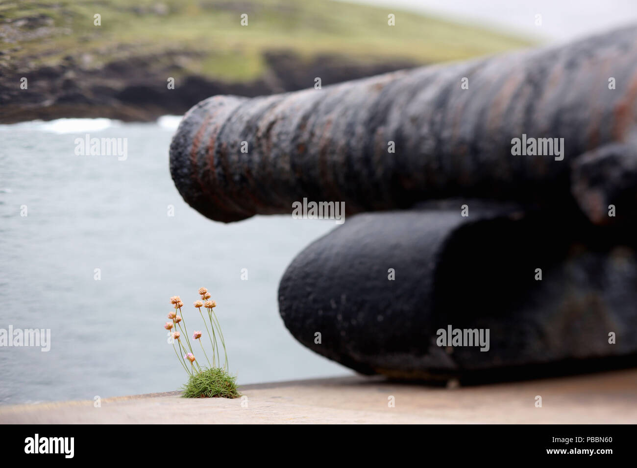 An old canon and a single flower stand guard on Valentia Island, County Kerry, Ireland. - Stock Image