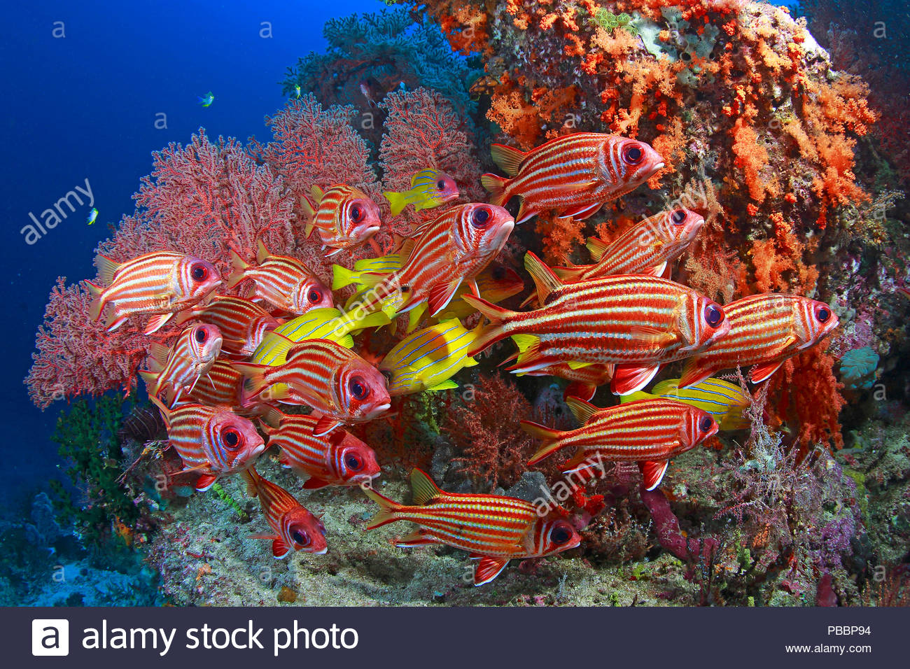 Colourful reef scene, Redcoats (Sargocentron rubrum) and Blue-striped snapper (Lutjanus kasmira), Raja Ampat, Irian Jaya, Indonesia - Stock Image