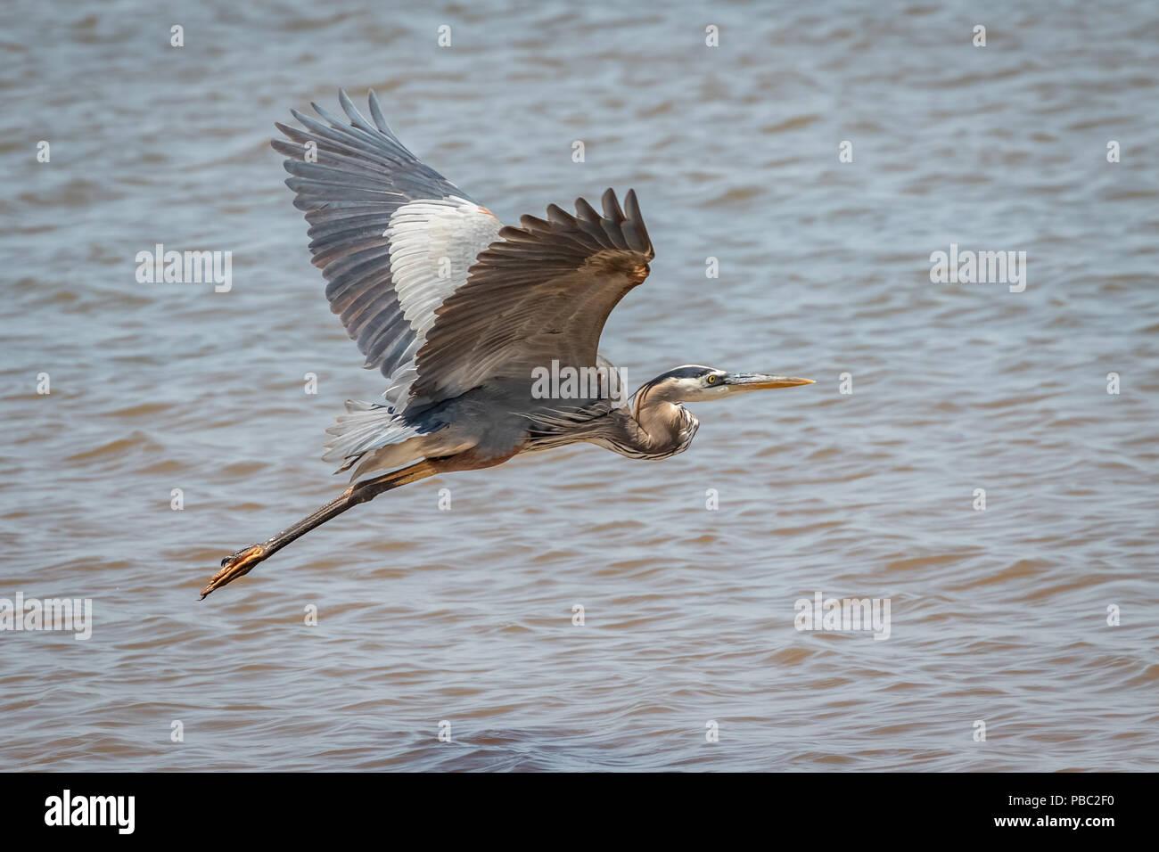Great Blue Heron (Ardea herodias) in flight. - Stock Image