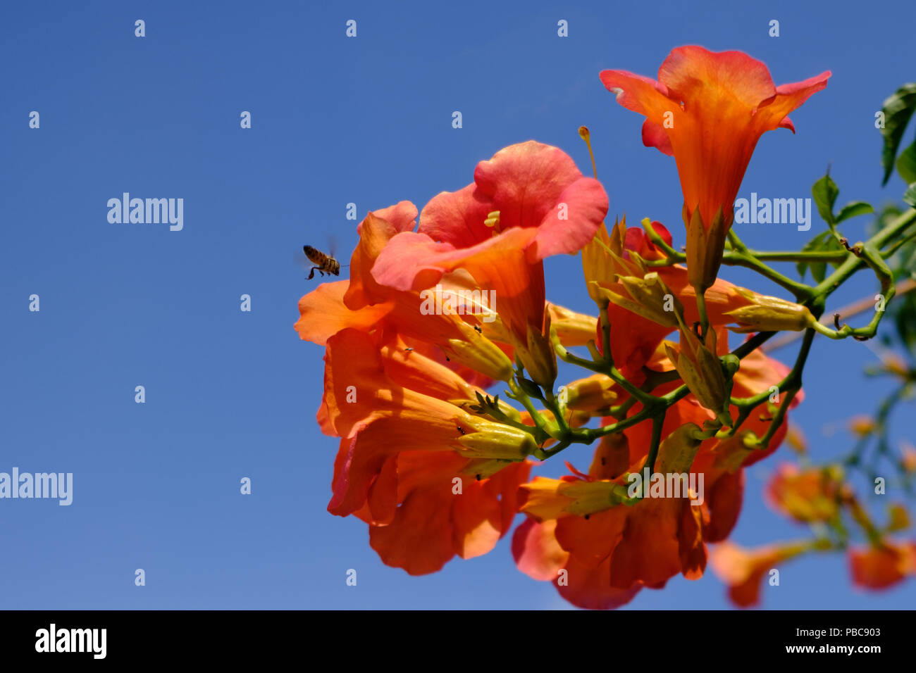 Cluster of Red n orange Campsis Radicans ( trumpet vine ) of the family Bignoniaceae with a busy bee hovering. Saronida, East Attica, Greece. ( Crop ) Stock Photo
