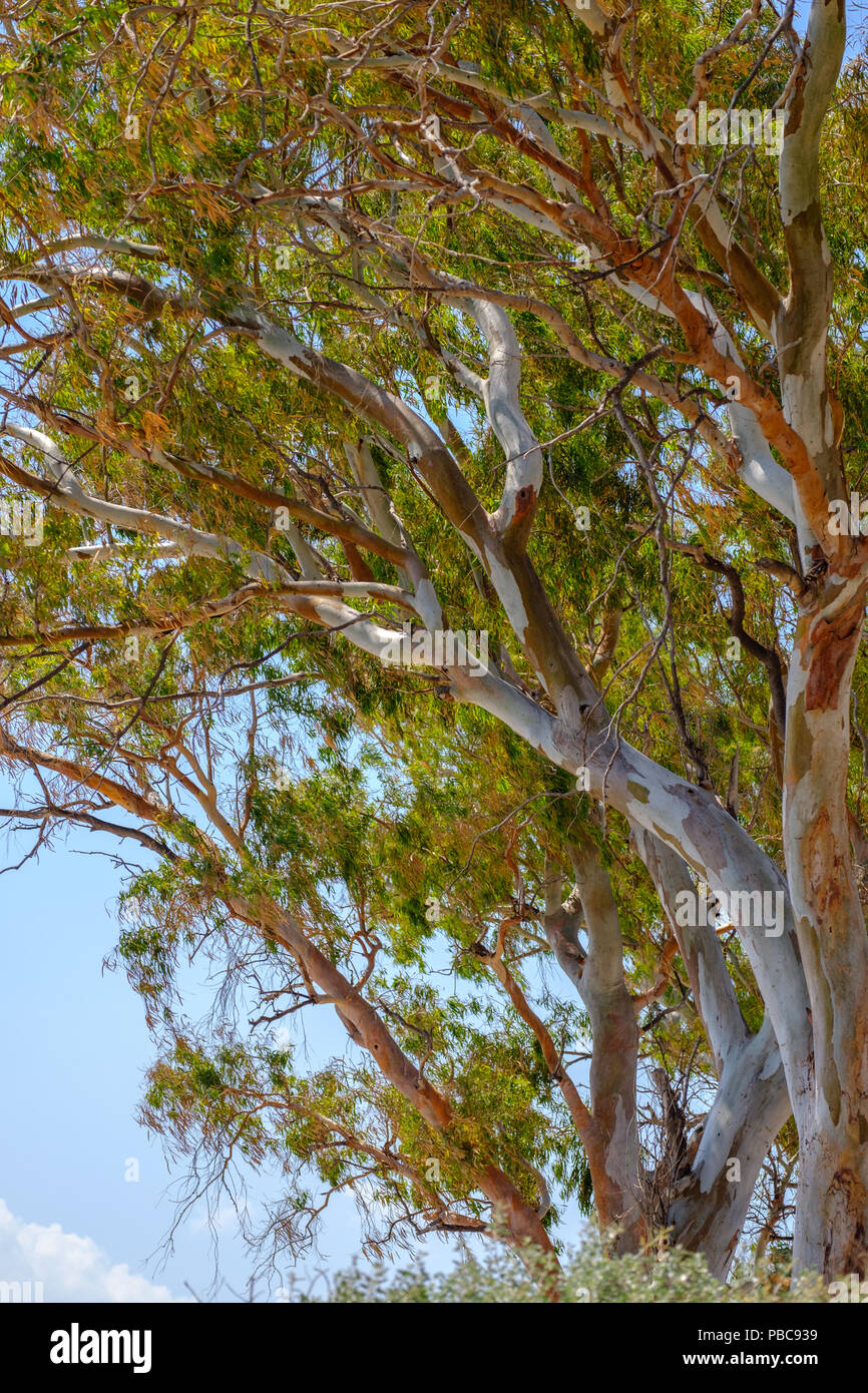 Eucalyptus trees. Desired by horticulturists for being a fast growing source of wood, oils creating insecticides plus herbal uses. Lagonissi, Greece. Stock Photo