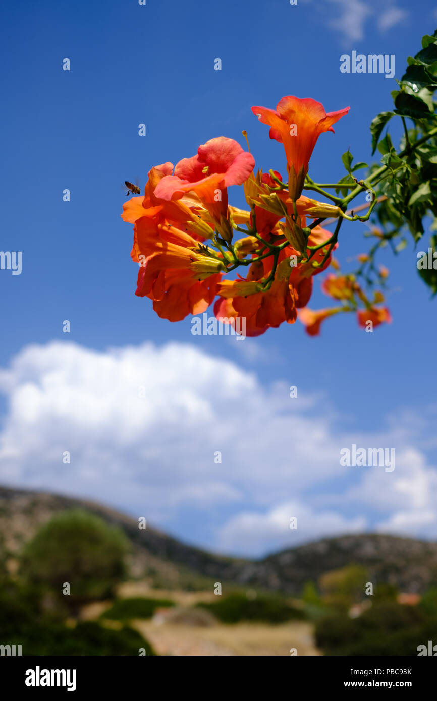 Cluster of Red n orange Campsis Radicans ( trumpet vine ) of the family Bignoniaceae with a busy bee hovering. Saronida, East Attica, Greece, Europe. Stock Photo