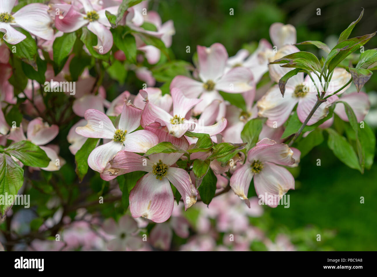 A Close Up View Of Pink Dogwood Flowers Cornus Florida Rubra From