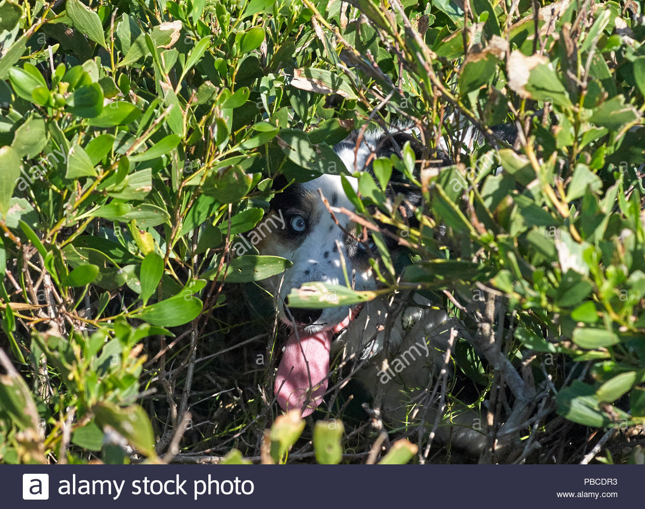 A border collie hidden in the coastal vegetation - sheltering from the sun - with it's tongue hanging out, looking at the camera; at Iluka, NSW. - Stock Image