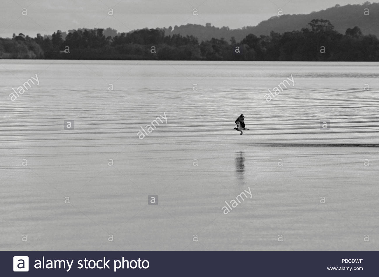An Osprey(Pandion Haliaetus), flying close to the waters of the Clarence River - a black and white image taken from Goodwood Island, NSW, Australia. - Stock Image