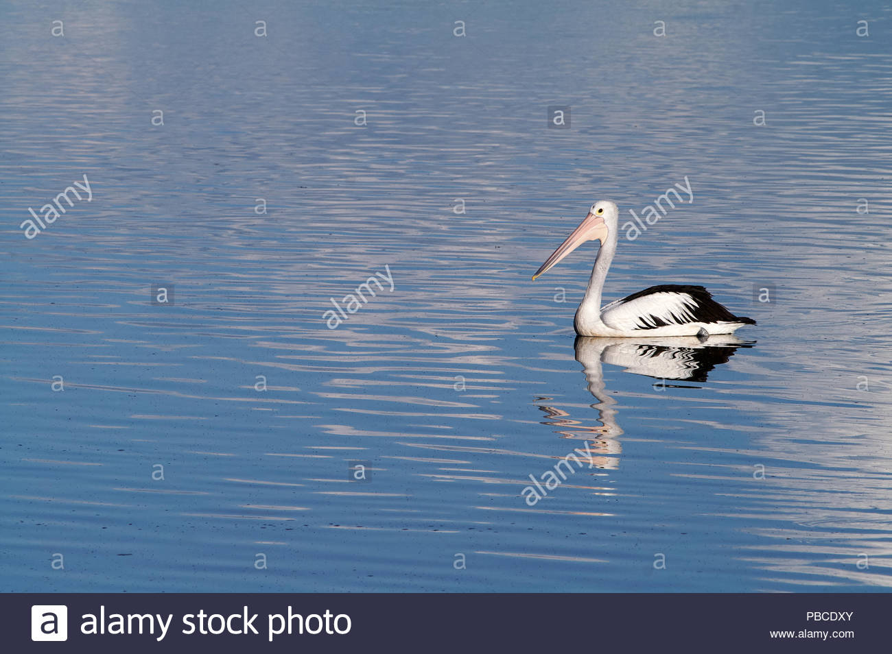 An Australian pelican(Pelecanus conspicillatus), paddling on the lovely purple/blue surface of the Clarence River; at Goodwood Island, NSW, Australia. - Stock Image