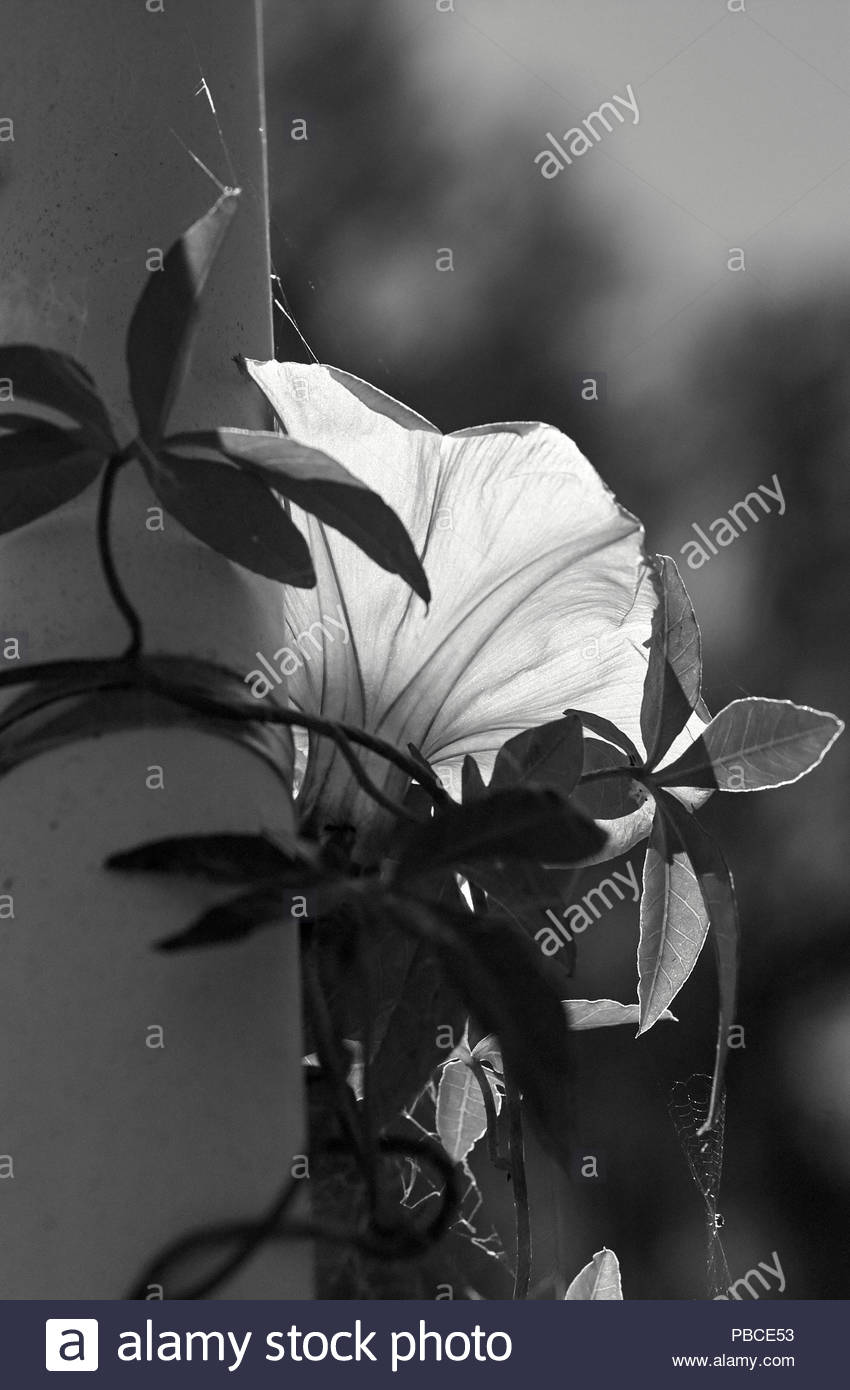 A black and white image of a Morning Glory vine(Convolvulaceae), growing up a plastic pipe; with it's lovely flower aglow - backlit by the sunlight. - Stock Image