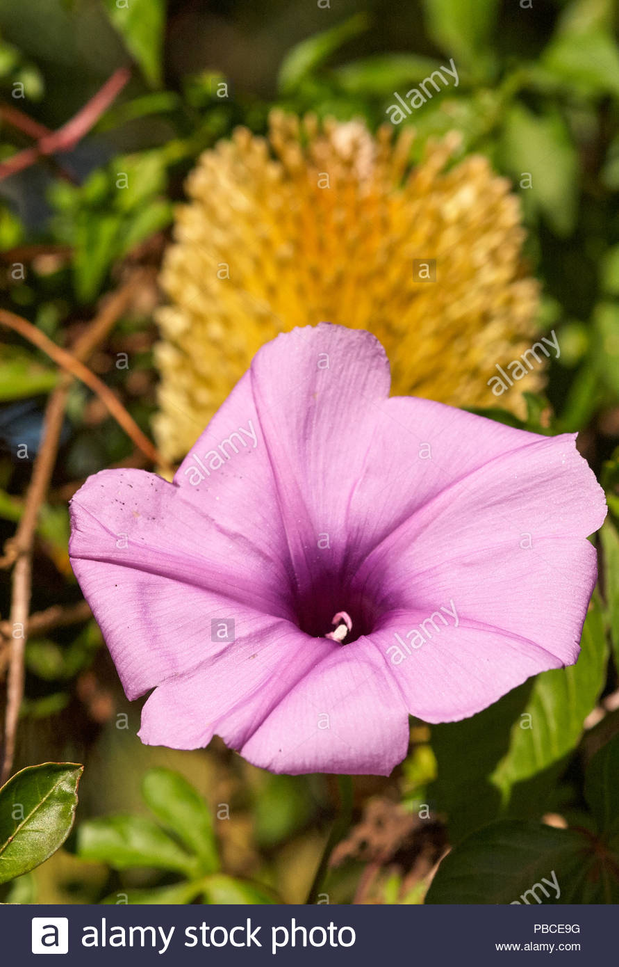 A purple Morning Glory(Convolvulaceae) flower, with a golden Banksia(Proteaceae) bloom in the background; surrounded by green blurred vegetation. - Stock Image