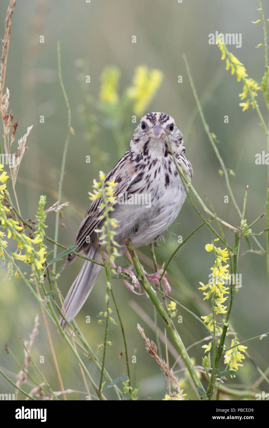 Baird's Sparrow July 23rd, 2011 Grand River National Grasslands, Perkins County, SD Canon 50D, 400 5.6L - Stock Image