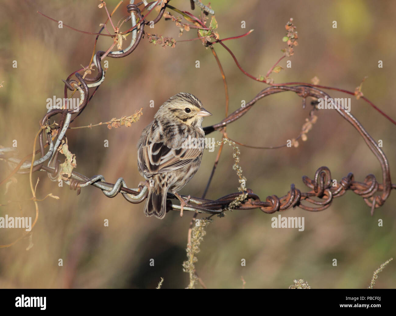 Savannah Sparrow October 16th, 2013 Lincoln County, SD Canon 50D, 400 5.6L - Stock Image
