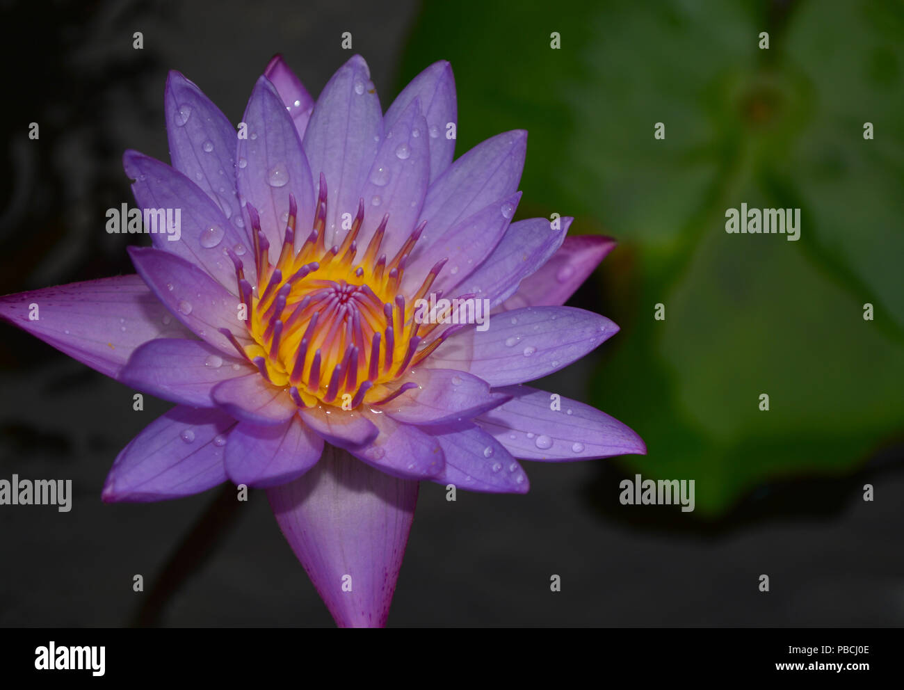 This Water Lily Has A Beautiful Flower It Is Native To Southern And