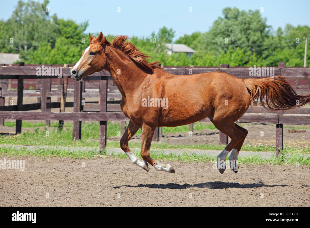 Chestnut race horse running in paddock on the sand background - Stock Image