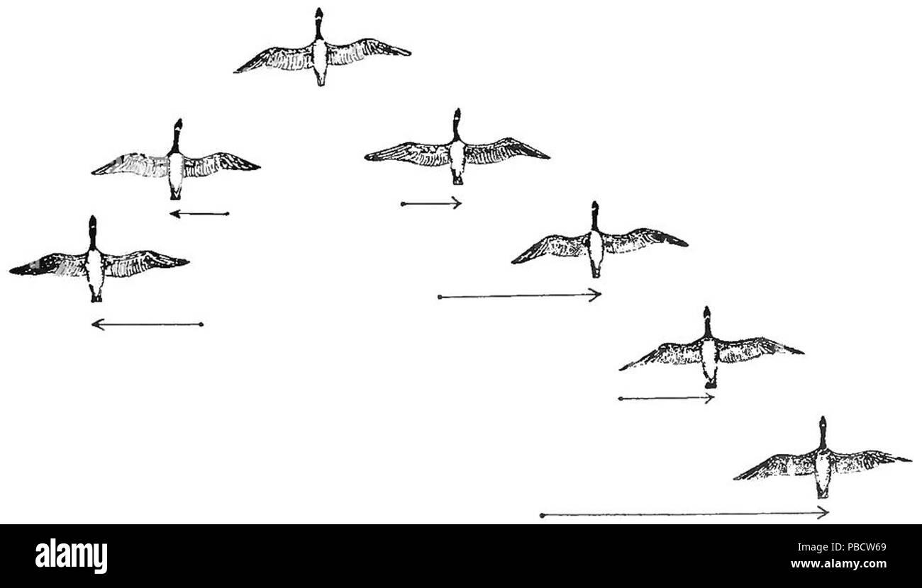 1234 psm v84 d217 2 flocking habit of migratory birds fig5 stock Migratory Ducks 1234 psm v84 d217 2 flocking habit of migratory birds fig5