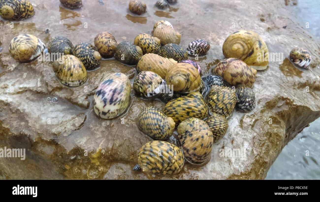 Sea snail on a exposed rock after the low tide on the east shore of the Dominican Republic - Stock Image