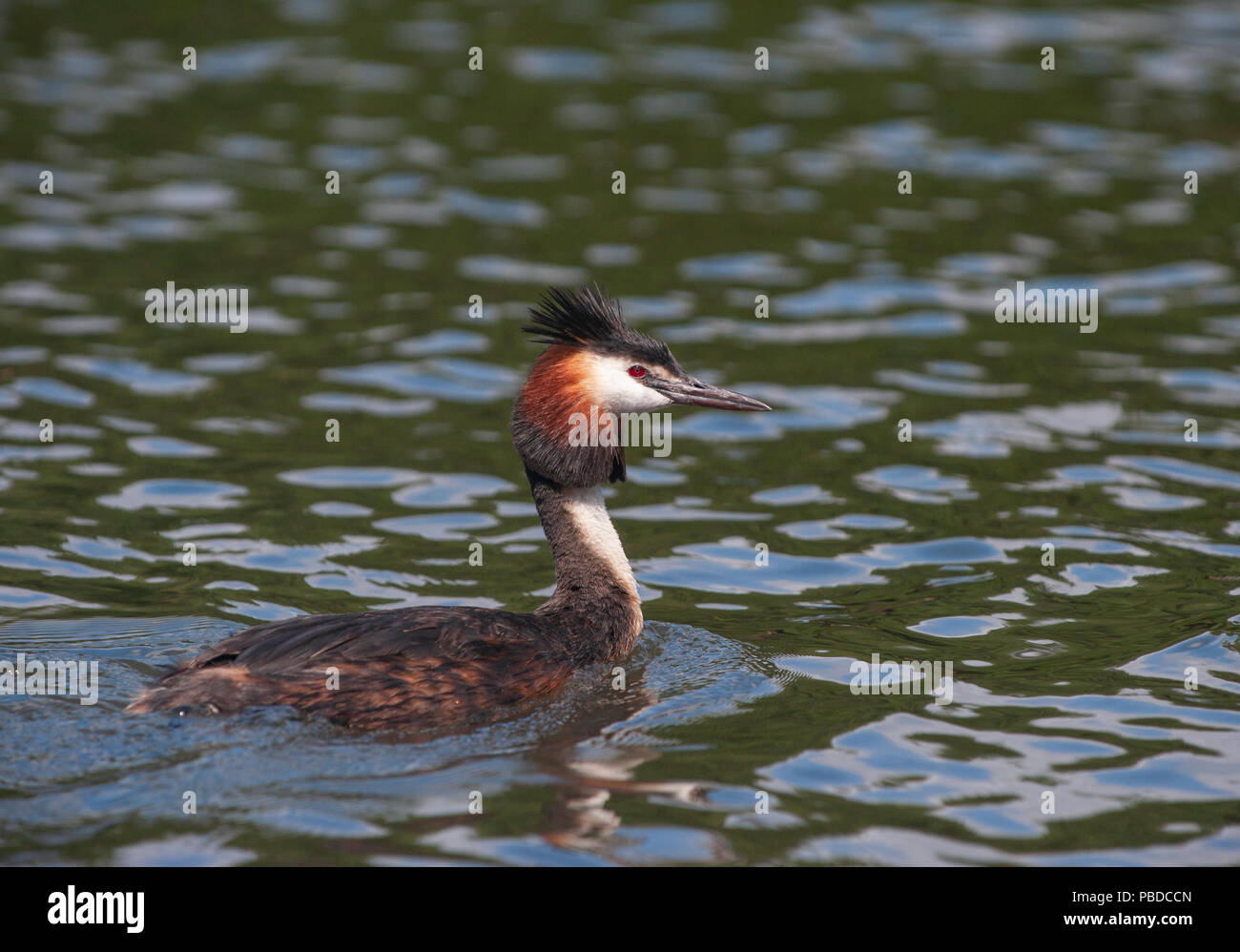 adult male Great Crested Grebe, (Podiceps cristatus), Walthamstow Reservoirs, London, United Kingdom, British Isles Stock Photo