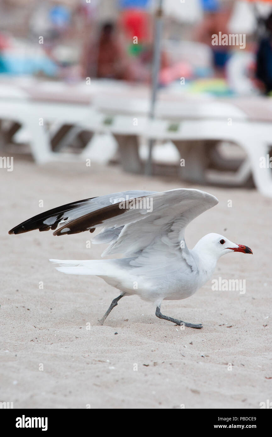 Audouin's Gull, (Ichthyaetus audouinii), looking for food scraps on Es Canar beach, Ibiza Island, Balearic Islands, Mediterranean Sea, Spain, Europe Stock Photo