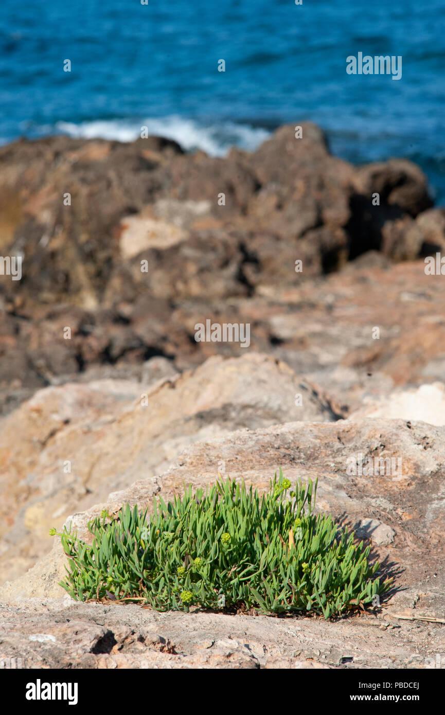 north eastern coast of Ibiza Island, Rock Samphire shrubs on rocks, Balearic Islands, Mediterranean Sea, Spain, Europe Stock Photo