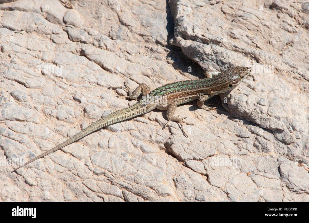 Ibiza Wall Lizard, (Podarcis pityusensis), on rocks on the east coast of Ibiza Island, Balearic Islands, Mediterranean Sea, Spain Stock Photo