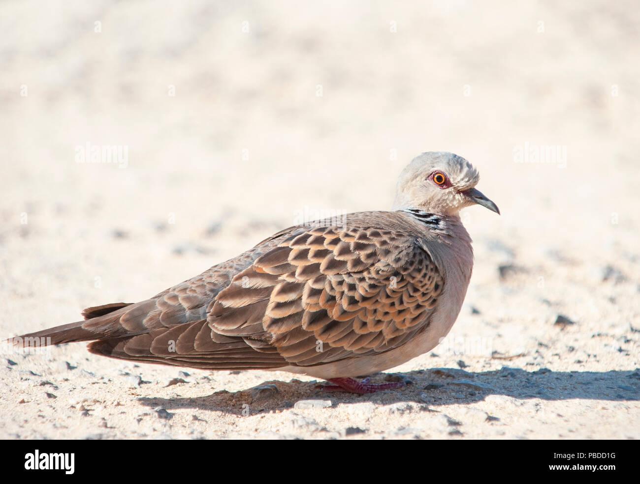 adult European Turtle Dove,(Streptopelia turtur), Ibiza, Balearic Islands, Mediterranean Sea, Spain Stock Photo