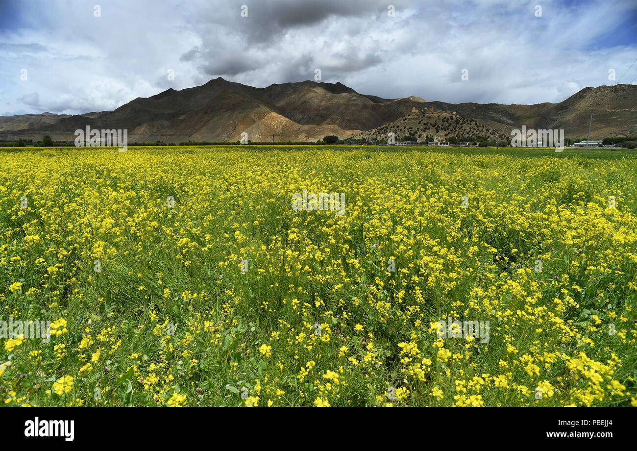 Xigaze. 25th July, 2018. Photo taken on July 25, 2018 shows cole flowers in Gyangze County in Xigaze, southwest China's Tibet Autonomous Region. Credit: Li He/Xinhua/Alamy Live News - Stock Image