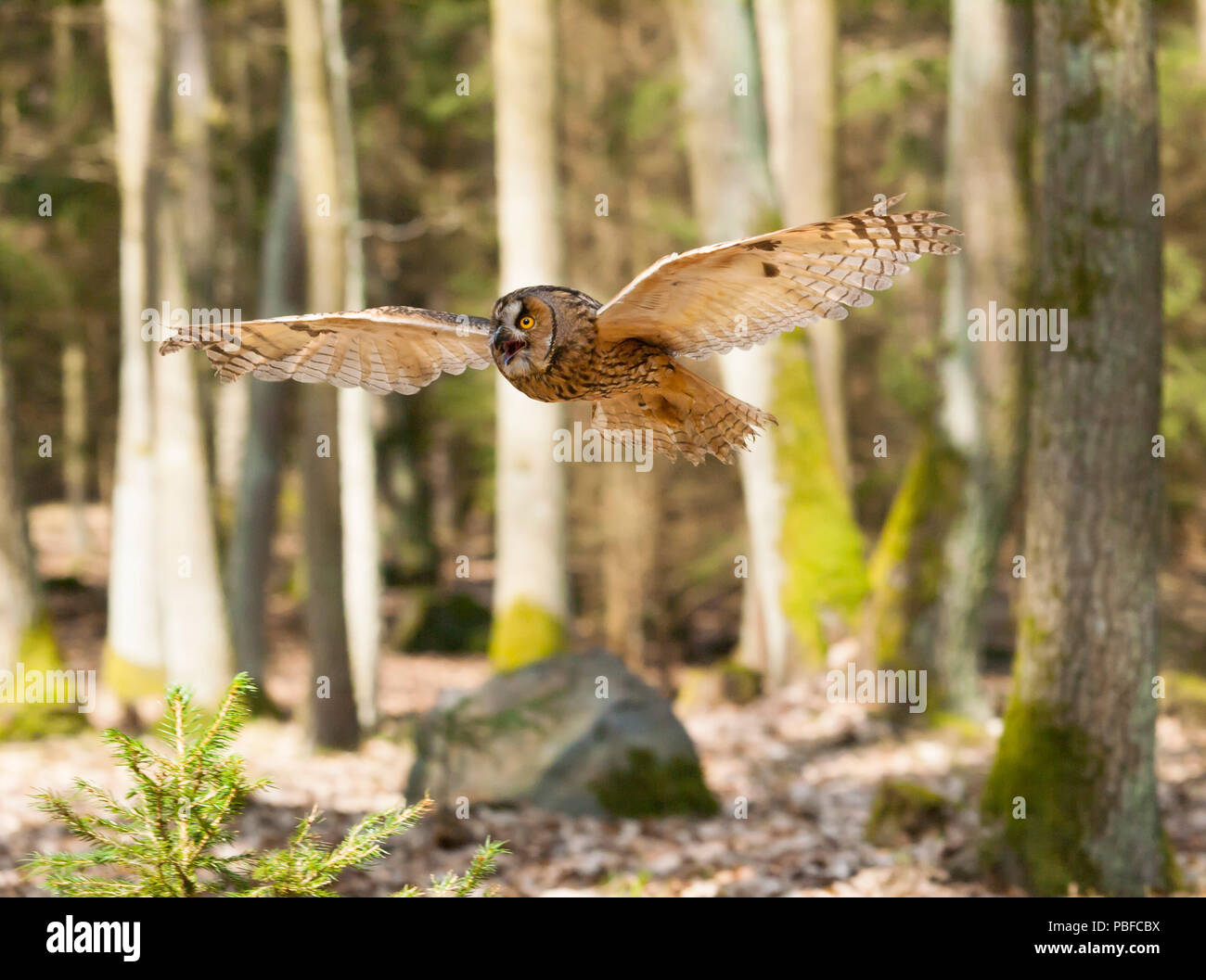 Portrait of long-eared owl with  spreaded wings out - Asio otus - Stock Image