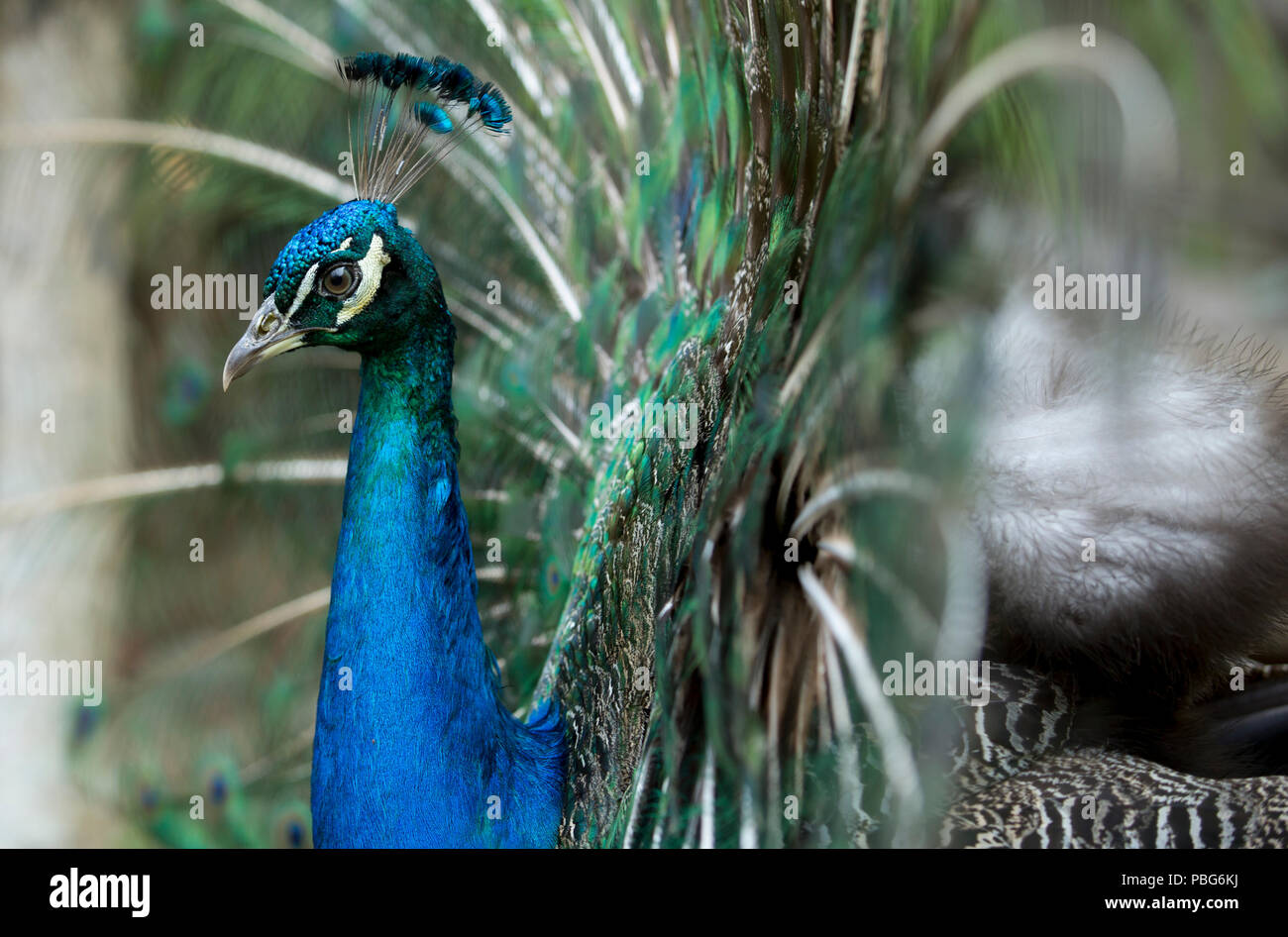 Peacock, Colombia - Stock Image