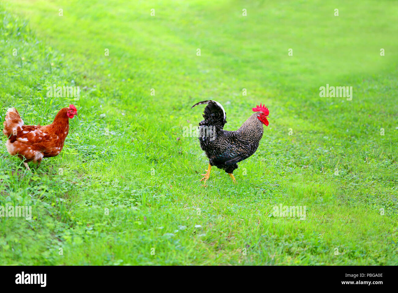 Funny Cock Pics photo of a funny funny cock and chickens on green grass